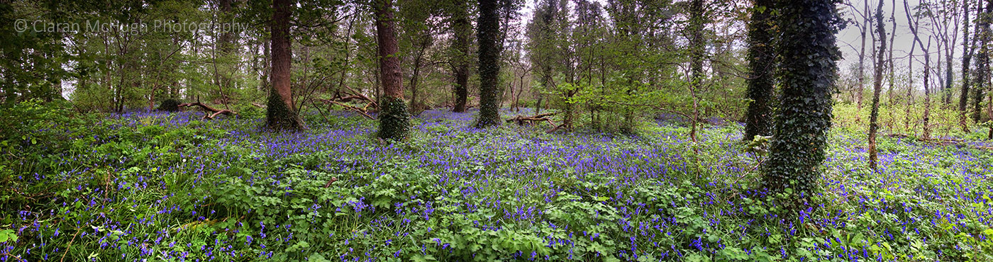 Ciaran McHugh Photography, Sligo: bluebell woods at lissadell